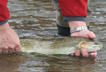 Fly Fishing in Virginia, Trout, Virginia's best fly fishing site, Brown Trout, Brook Trout, Rainbow Trout